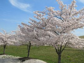 Cherry Trees on Oak Crest Village's Campus